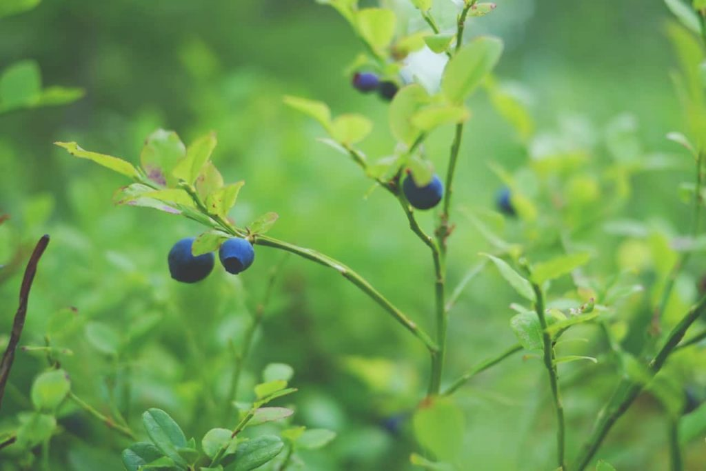 gardensgate-blueberries-body-image